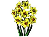 A bunch of Narcissus