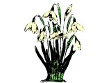Bunch of snowdrops