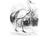Crane (Grus cinerea), Heb. SIS or SUS (Is.38:14, Jer.8:7)