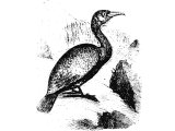 Greater Cormorant (Phalacrocorax carbo), Heb.ShaLaK (Lev.11:17,  Deut:14.17, Is:34.11, Zeph.2:14)