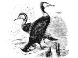 Greater Cormorant (Phalacrocorax carbo), Heb.ShaLaK (Lev.11:17,  Deut.14:17, Is.34:11, Zeph.2.14)