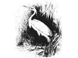 Little Golden Egret (Ardea russata), a possible translation of Heb. ANaPhaH, (Lev.11, Deut.14), sometimes translated Heron