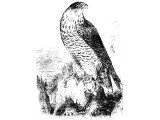 Peregrine Falcon (Falco peregrinus), Heb. NeTz, which includes all hawks and falcons.