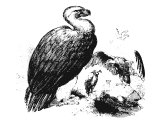 Vultures, often translated Eagle.