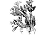 Spikenard (Nardostachys jatamansi), Heb. NeRD - makes the spice (Spikenard or Nard)