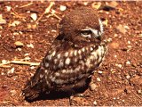 The Little Owl, the commonest owl in Israel. Owls were often associated with ghosts and demons, probably because of their nocturnal habits.