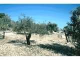 Olive groves at Tantur