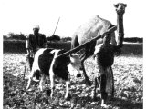 Such a ploughing team as this may have prompted the phrasing of Paul`s admonition `unequally yoked together` (II. Corinthians vi, 14). The difference in height imposes an unfair strain on the smaller animal. An early photograph.