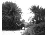 Palms of Elim. According to common tradition, in the Wadi Gharandel. An early photograph.