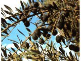 Black olives growing on an olive tree. Olives are an important source of food and oil.