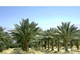 Date palm trees. The date palm was an essential article of diet and the palm branches were borne as a sign of rejoicing at festivals.
