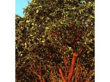 The arbutus tree has large glossy leaves, creamy-coloured flowers and red berries.