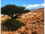 The thorny acacia tree which grows even in the most arid desert.