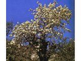 The wild pear tree has white blossom in spring and delicious fruit in summer.